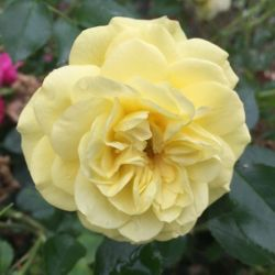 Rosier Solero ® - Rosa Kordes Solero ®