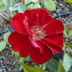 Rosa Fairy Dookerrond - Rosier Fairy donkerrood