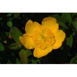 Hypericum hookerianum 'Hidcote'