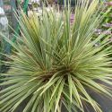 Cordyline banksii Electric Flash