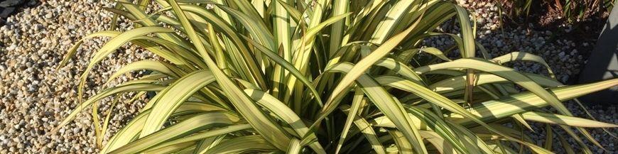 Graminée bambou